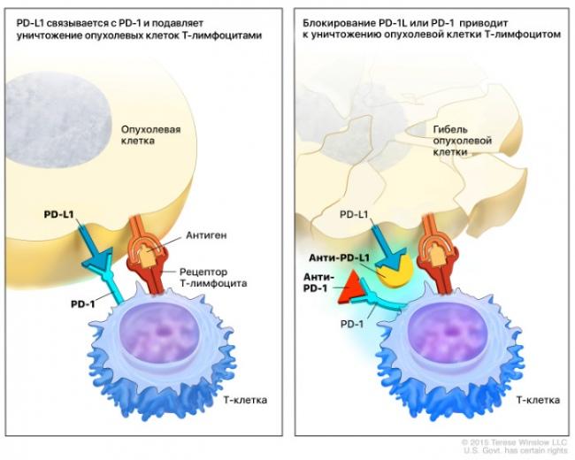 Лекарства (красный треугольник и желтый полукруг) не позволяют опухоли затормозить иммунный ответ.