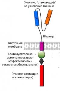 Химерный антигенный рецептор третьего поколения