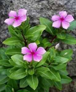 Барвинок розовый (Vinca rosea). Из этого скромного растения был выделен винкристин, от него препарат получил и свое название